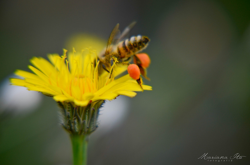 Photograph Bee by Mariana Ito on 500px