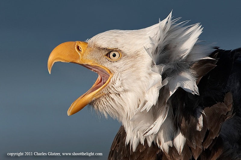 Photograph Bald Eagle screaming by Charles Glatzer on 500px