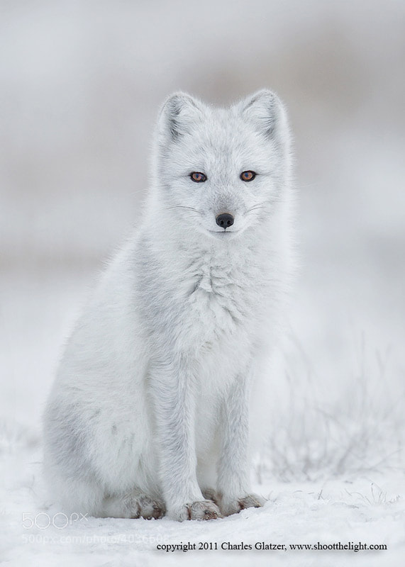 Photograph Arctic fox  by Charles Glatzer on 500px