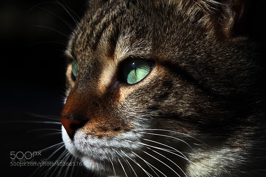 Photograph Mr Cat.. by ferrini claudine on 500px