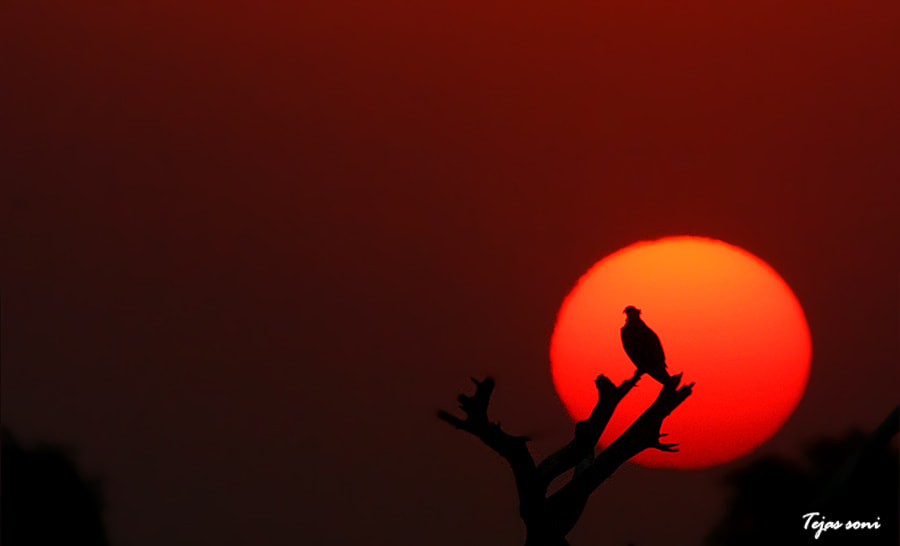 Photograph osprey  by Tejas Soni on 500px
