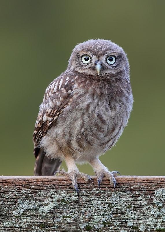 Photograph Little Owlet by Karen Summers on 500px