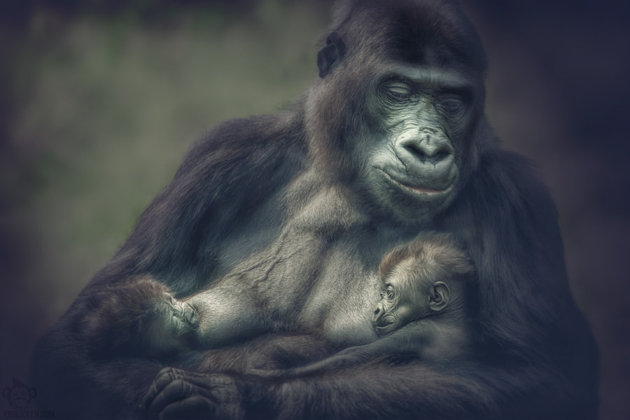 Photograph N'Gayla gorilla twins by Manuela Kulpa on 500px