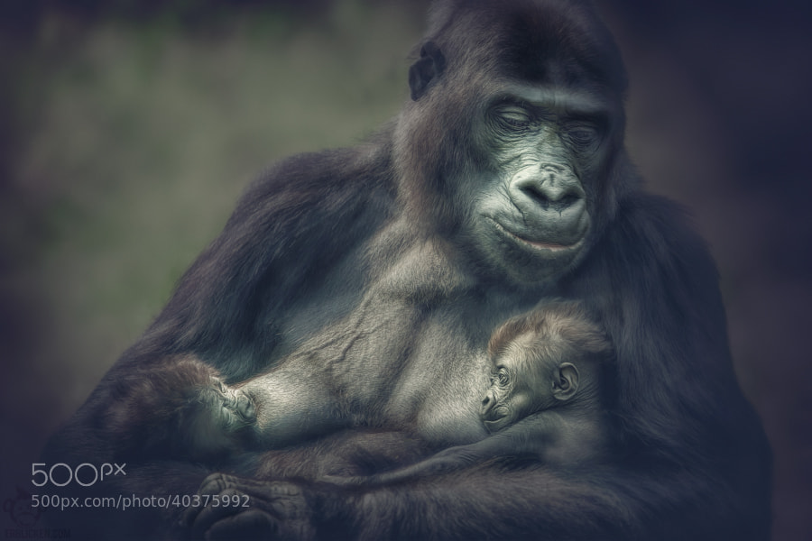 Photograph N'Gayla gorilla twins by Manuela Kulpa on 500px