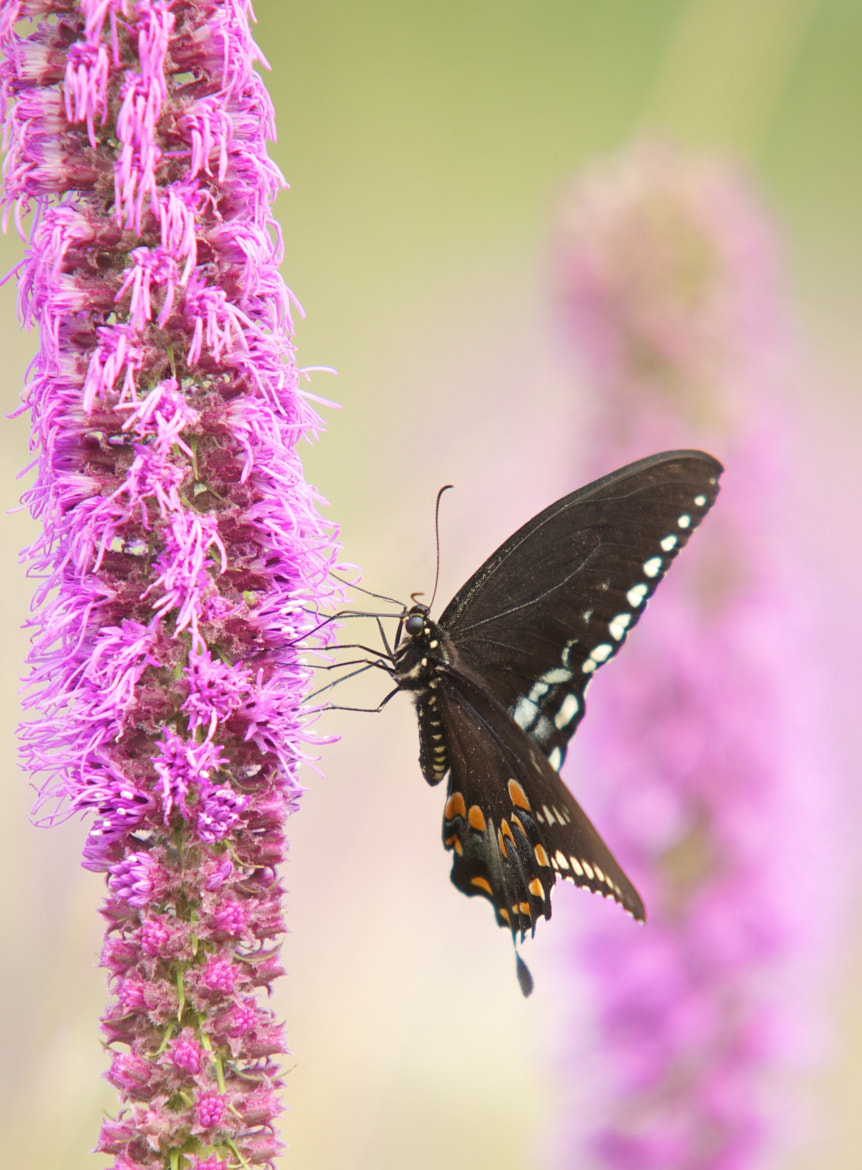 Photograph Swallowtail by Mike Fuhr on 500px