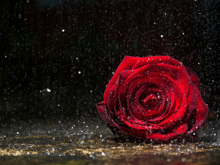 Photograph A solitary Rose, alone in the rain by Matt Dent on 500px