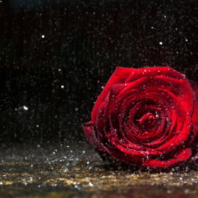 A solitary Rose, alone in the rain by Matt Dent (denty)) on 500px.com