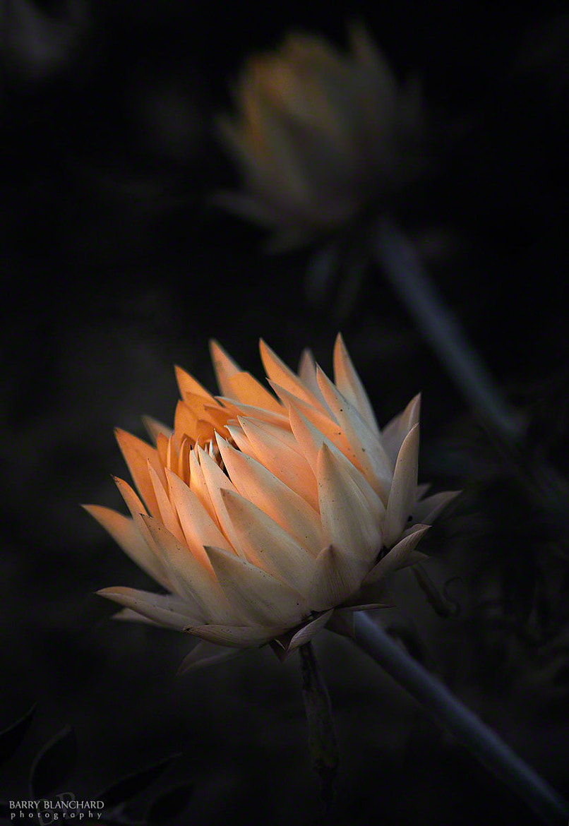 Photograph Strawflower No. 3 © Barry Blanchard by Barry Blanchard on 500px