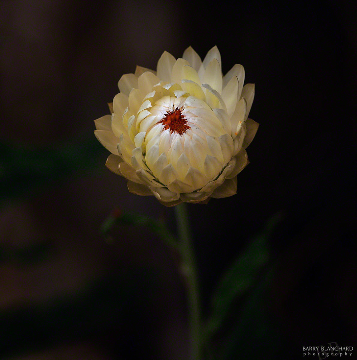 Photograph Strawflower No. 2 by Barry Blanchard on 500px