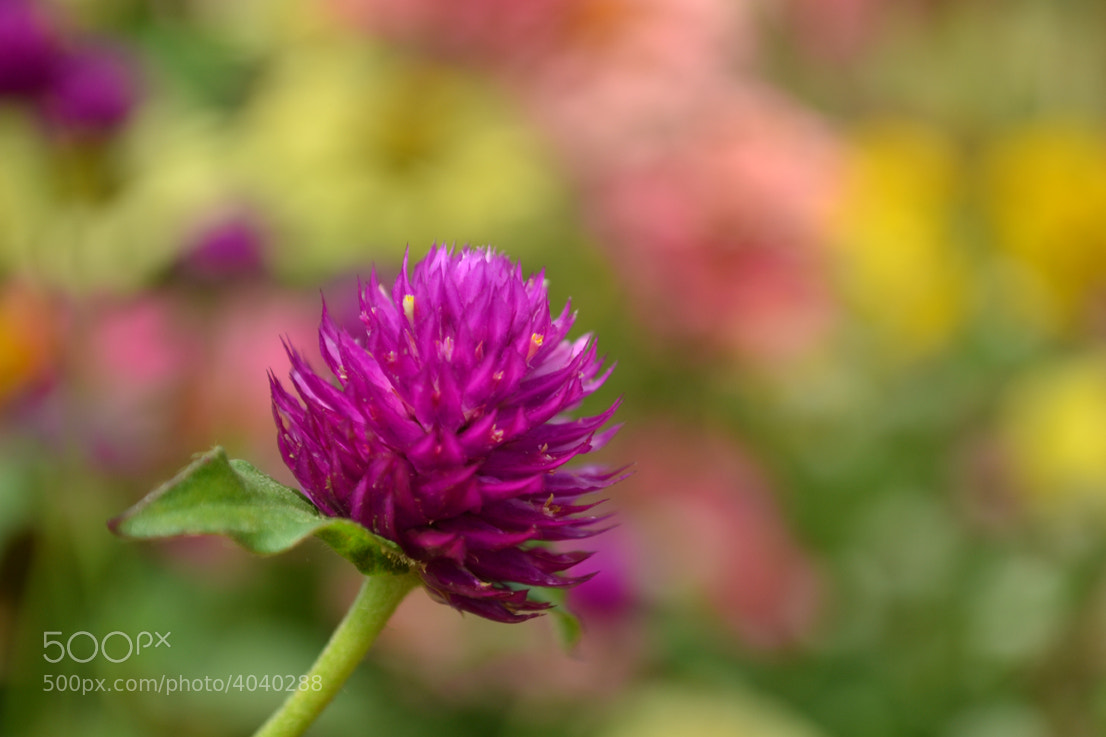Photograph Flower by Vinay M Rao on 500px