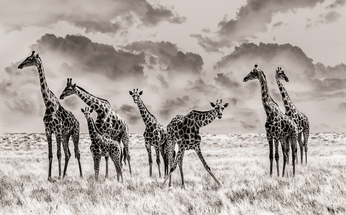 Photograph Giraffe with clouds by Peter Delaney on 500px
