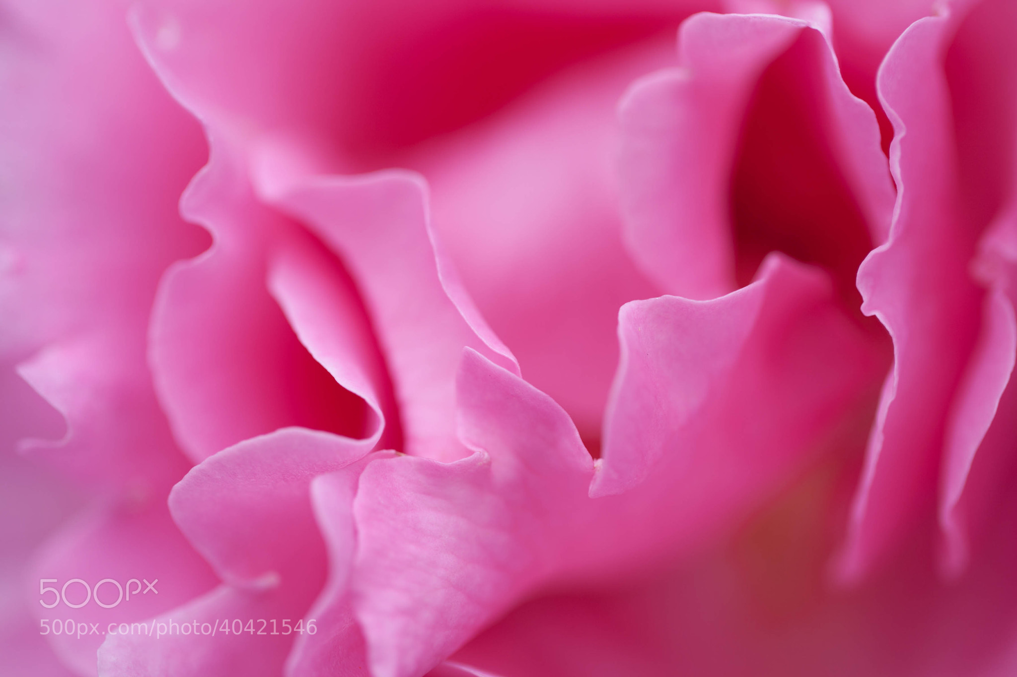 Photograph Macro Pink Rose by Carl Mickleburgh on 500px