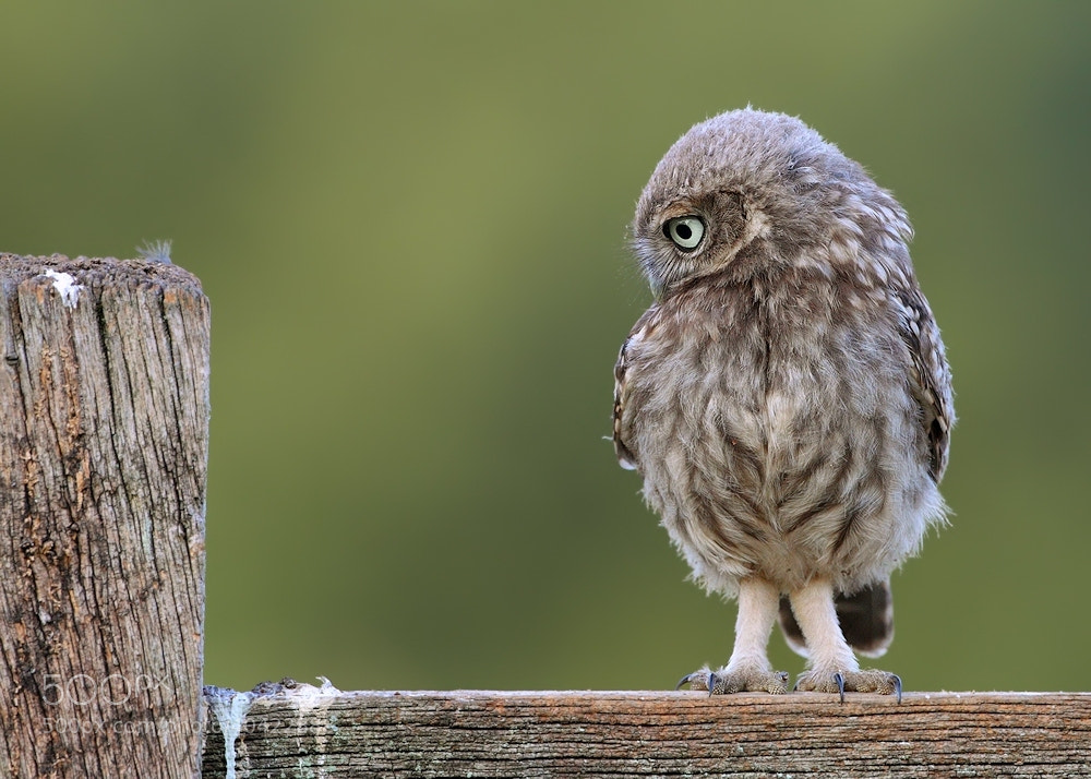 Photograph Little Owlet by Karen Summers on 500px