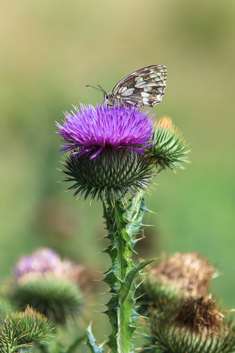 Photograph Marbled white  butterfly on a thistle flower by Slavica Stajic on 500px