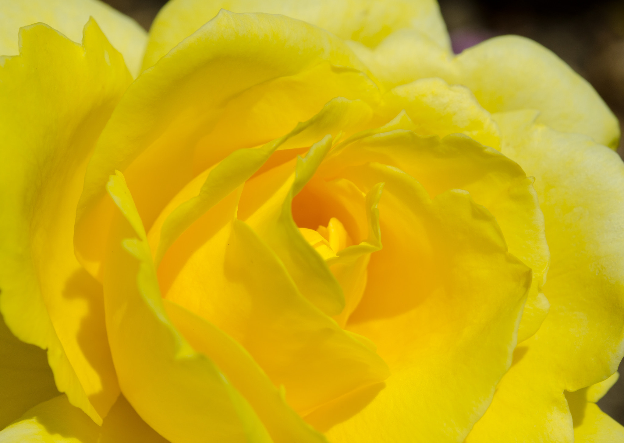 Photograph Yellow Rose by Jim Wells on 500px