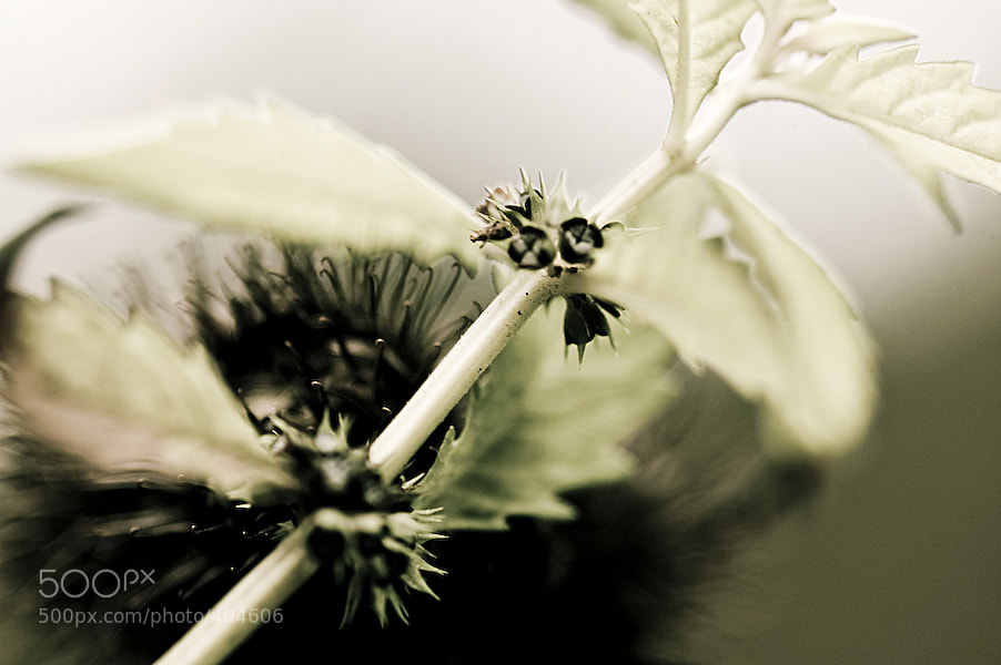 Photograph White thistle by Robert Hauk on 500px