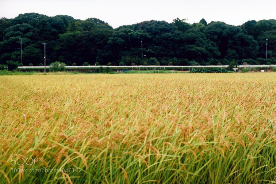 Rice fields ready to harvest.