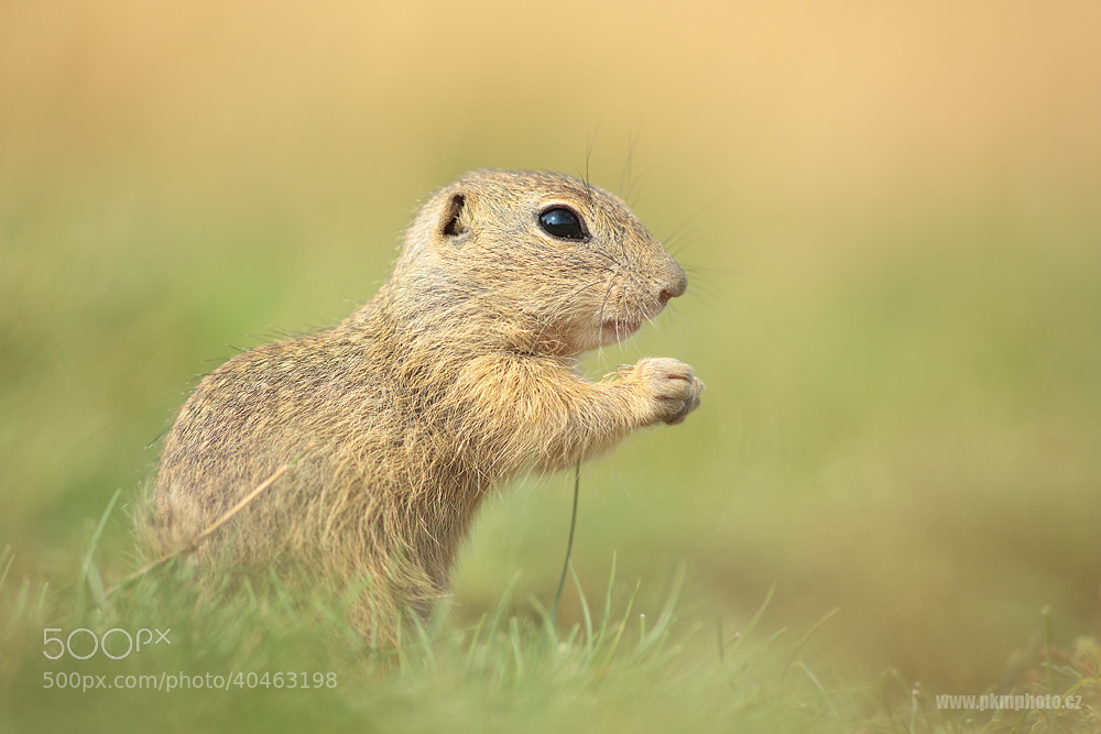 Photograph Ground Squirrel by Peter Krejzl on 500px