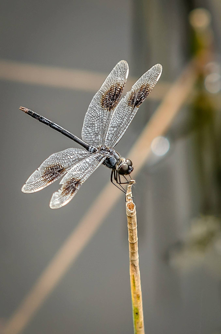 Photograph Dragonfly by David Olshan on 500px