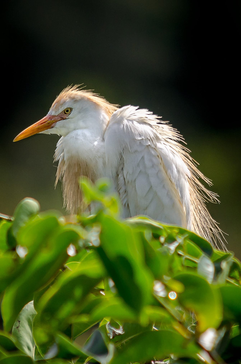 Photograph Cattle egret by David Olshan on 500px