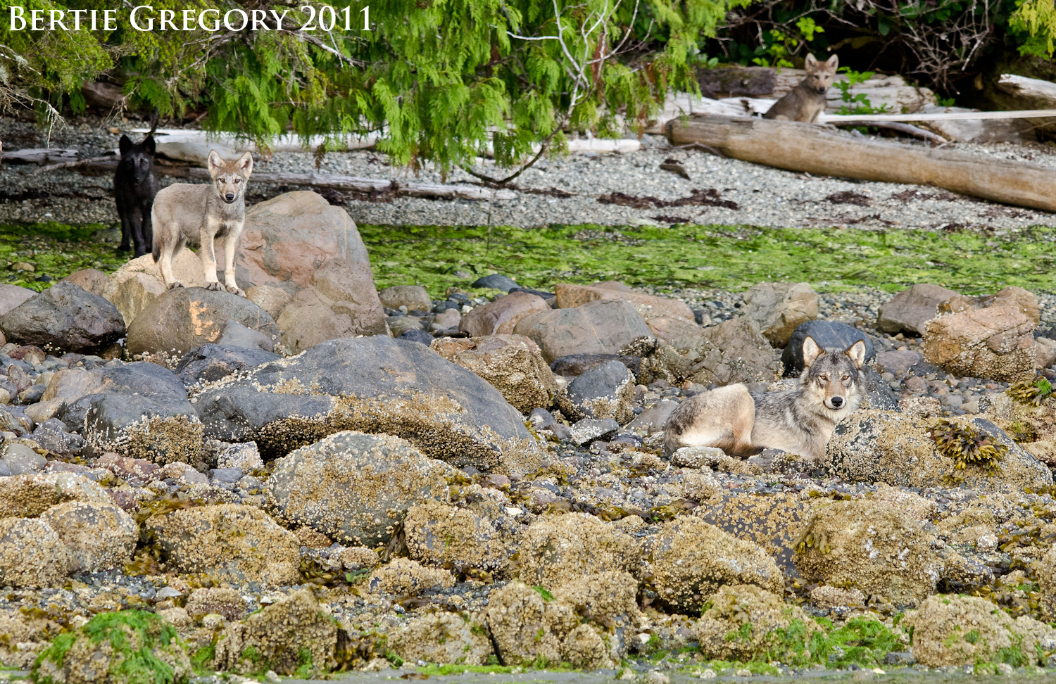 Photograph Coastal grey wolf family by Bertie Gregory on 500px