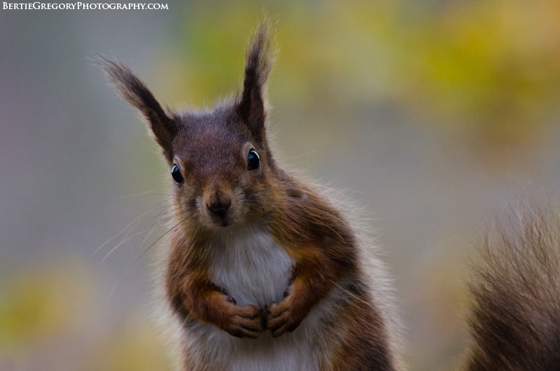 Photograph Red squirrel with autumn colours by Bertie Gregory on 500px