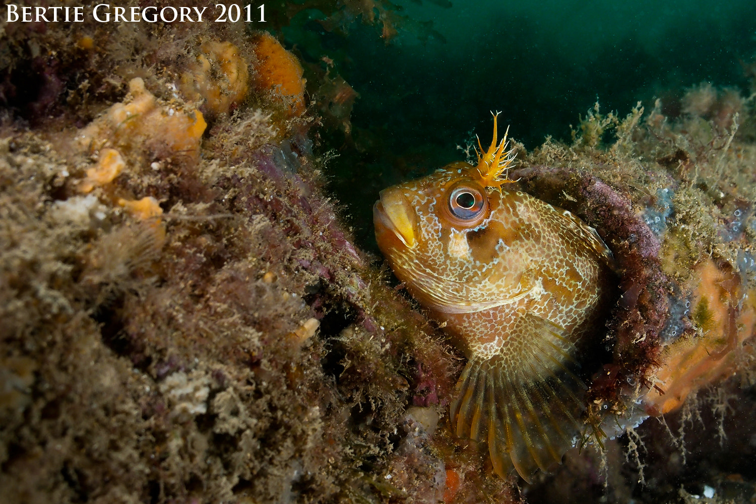 Photograph Tompot blenny  by Bertie Gregory on 500px