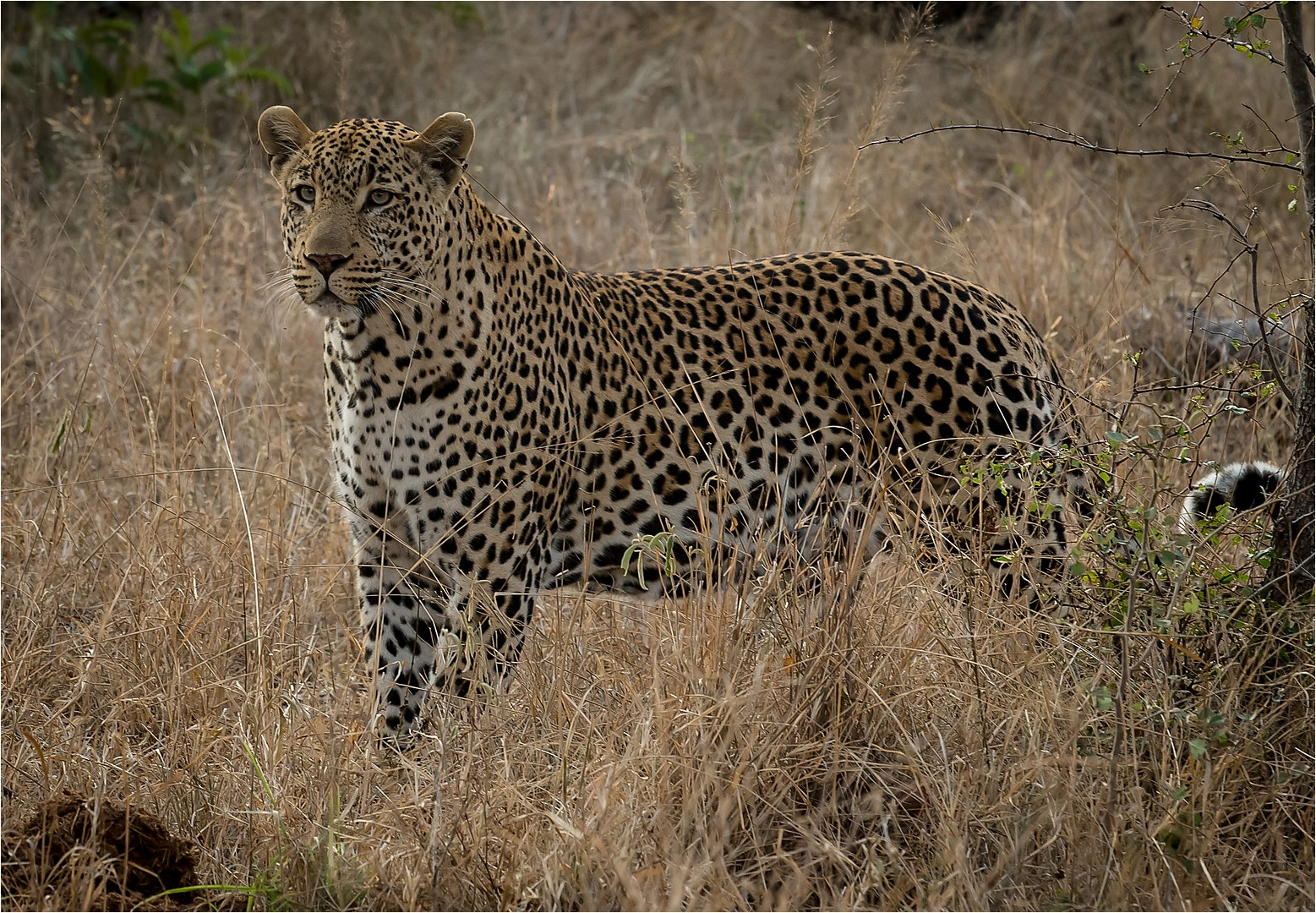 Photograph Tingana male leopard by Pieter Gravett on 500px