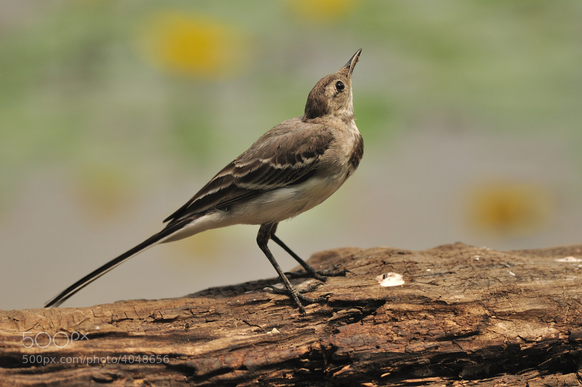 Photograph Wagtail by Csilla Zelko on 500px