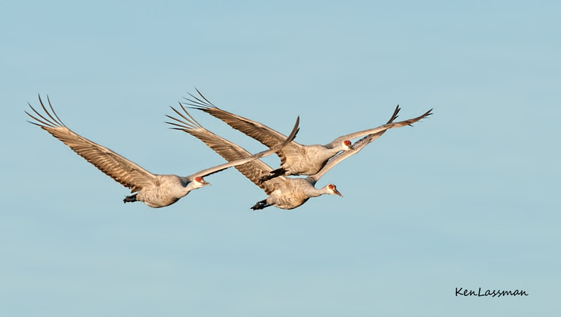 Beginning in November thousands of Sandhill Cranes arrive at Bosque Del Apache, San Antonio, New Mexico to spend the winter months