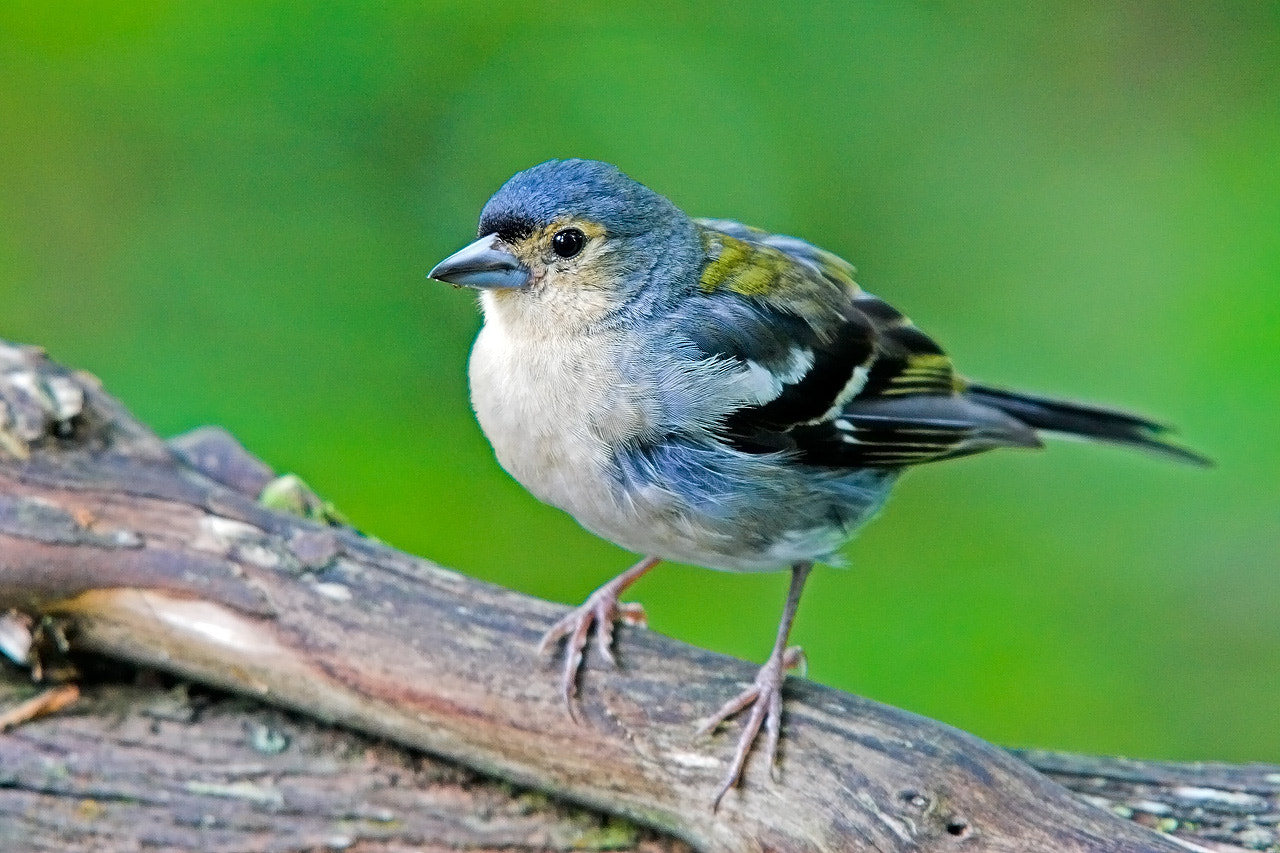Photograph Madeiran Chaffinch by Javier Abad on 500px