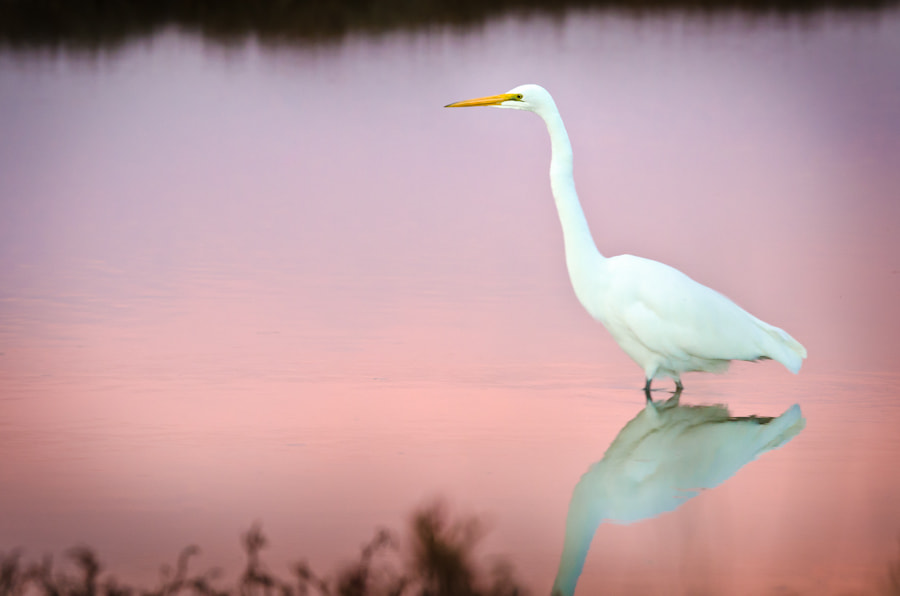 Photograph Great Egret by Scott Thomas on 500px