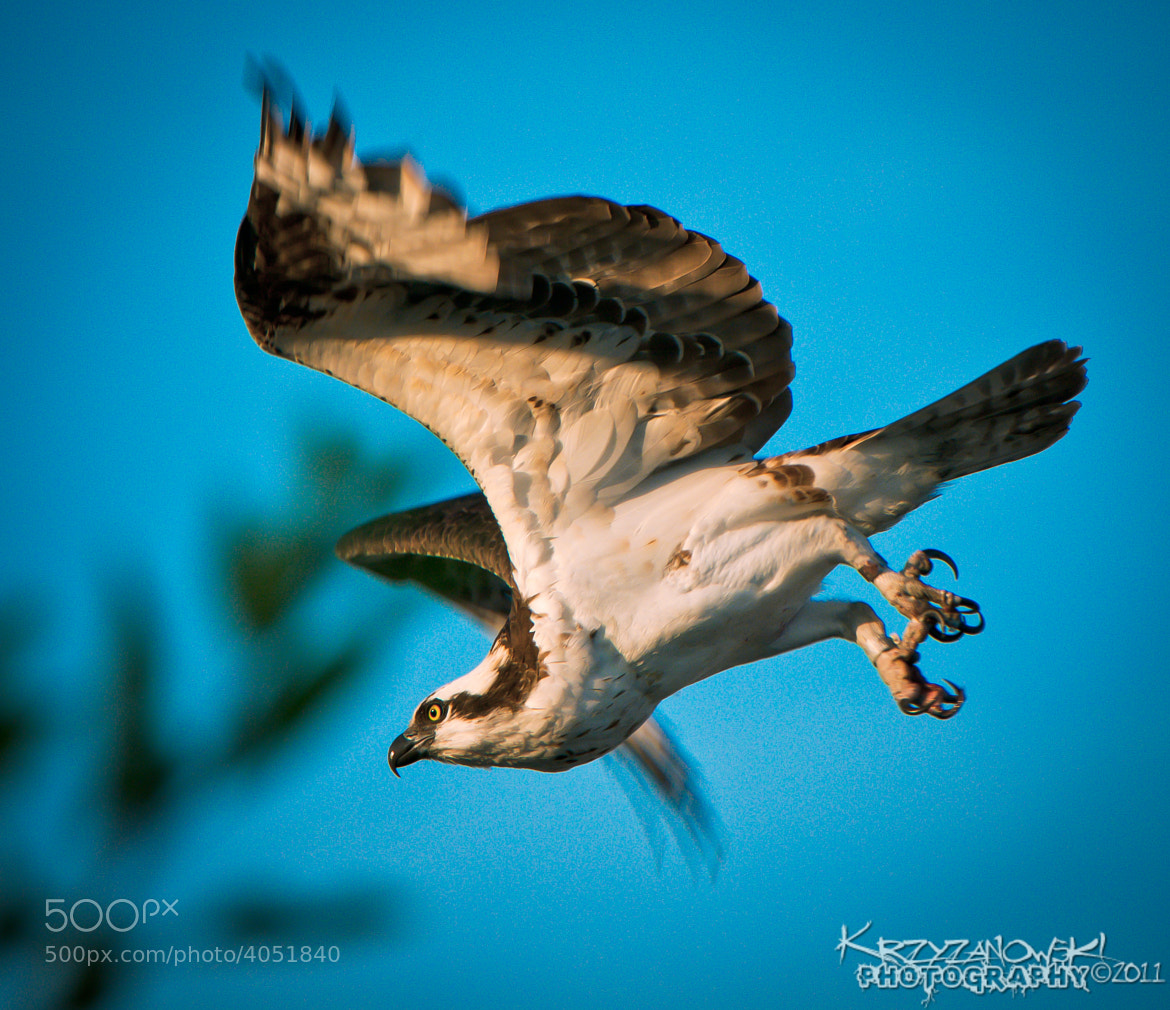 Photograph Osprey Dive by Andy Krzyzanowski on 500px