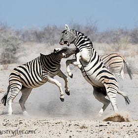 500px Blog » Zebra Fights Zebra In Wild Waterhole Battle - 500px Blog