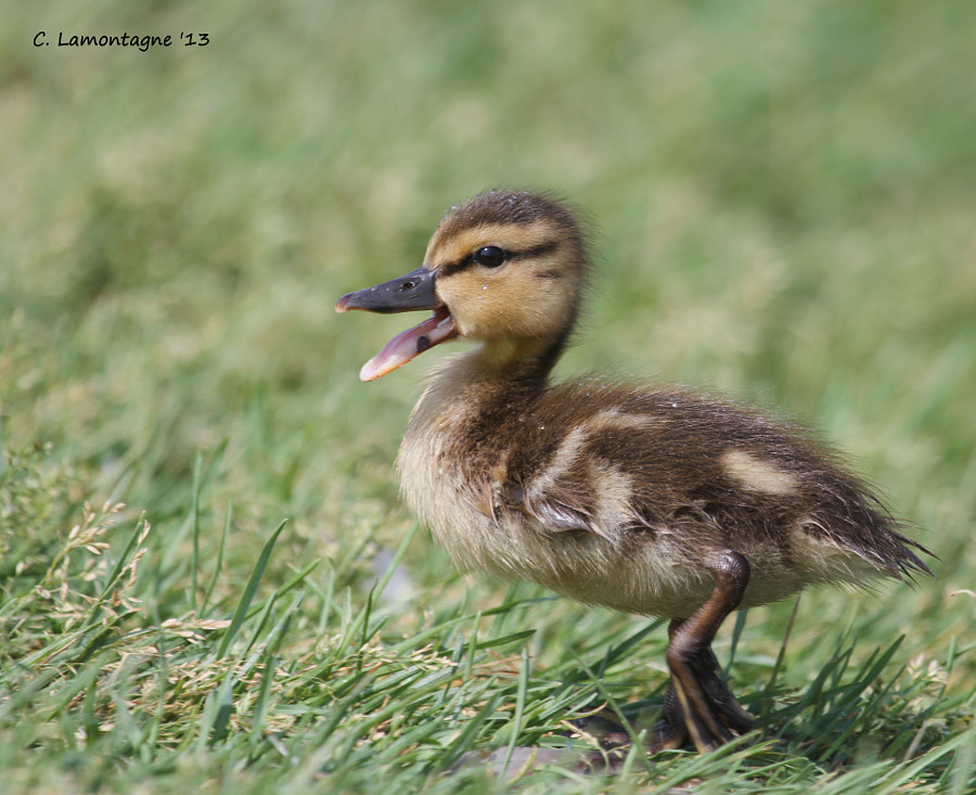 Mallard baby trying to catch up to the rest of the gang. Happy Tuesday to you all :)