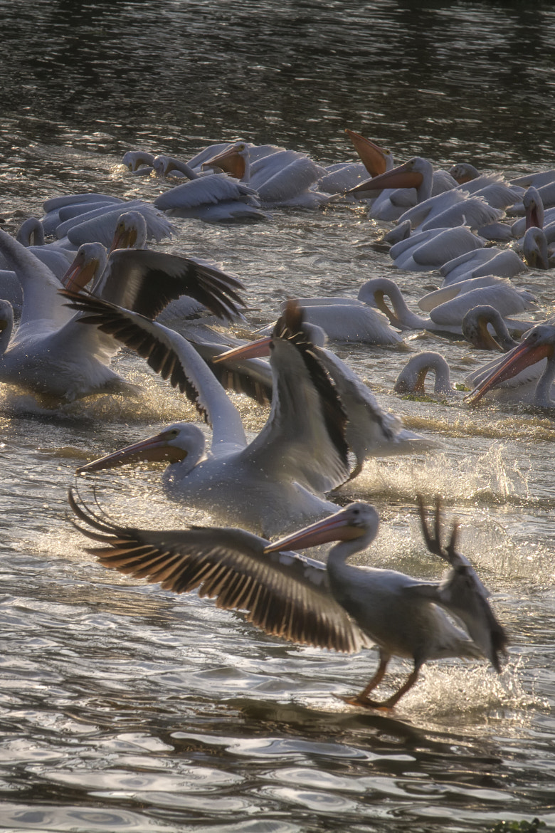 Photograph Pelican Party by Darrell Miller on 500px