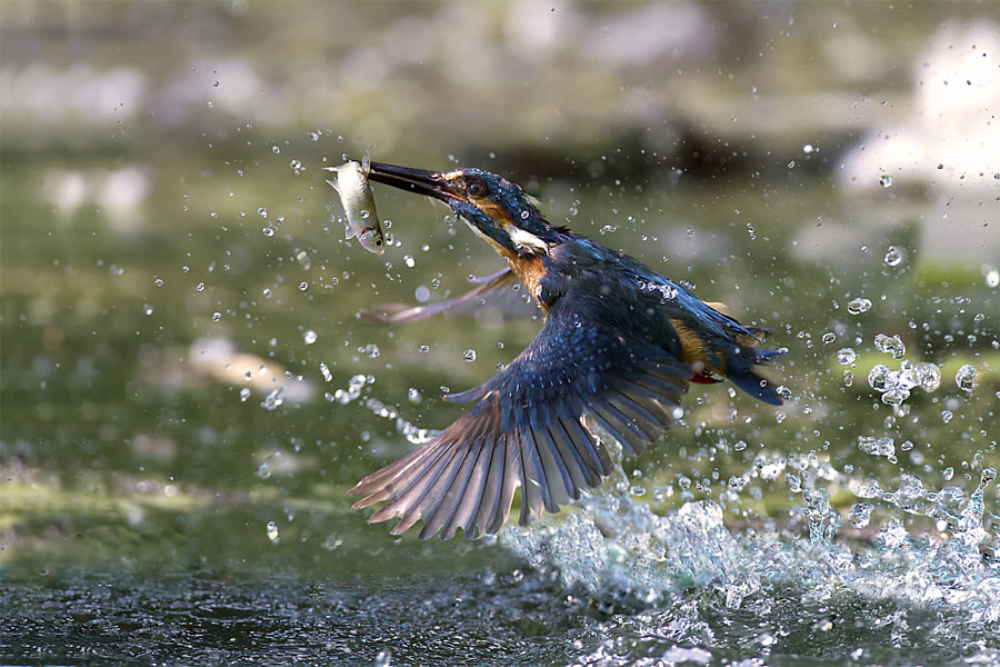 One dip, one fish! by Marco Redaelli on 500px.com