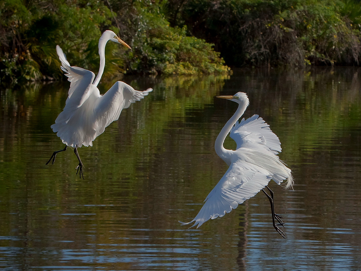 Photograph Great Egrets by Miguel Angel Leyva on 500px
