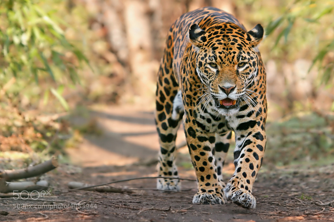 Photograph The King of Amazon River by Helmut Lager on 500px