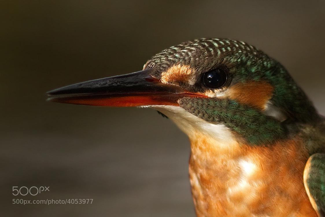 Photograph Common Kingfisher Portrait by Svend Erik Nørgaard on 500px