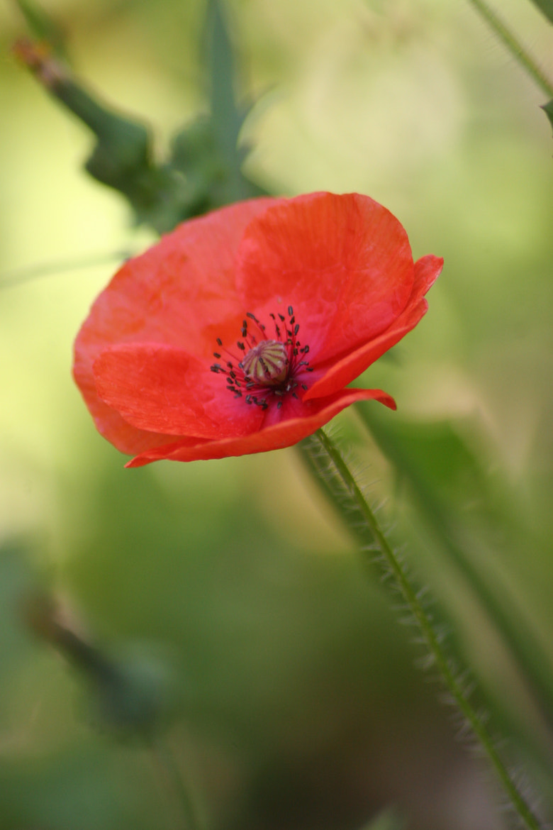 Photograph My little poppy... by Sophie Dormont on 500px