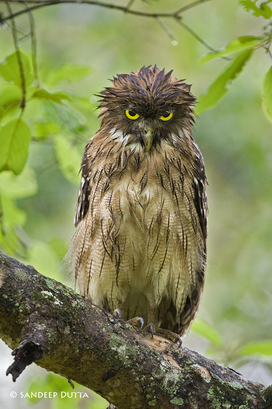Photograph Brown Fish Owl by Sandeep Dutta on 500px