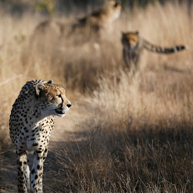 Mom cheetah leads the way
