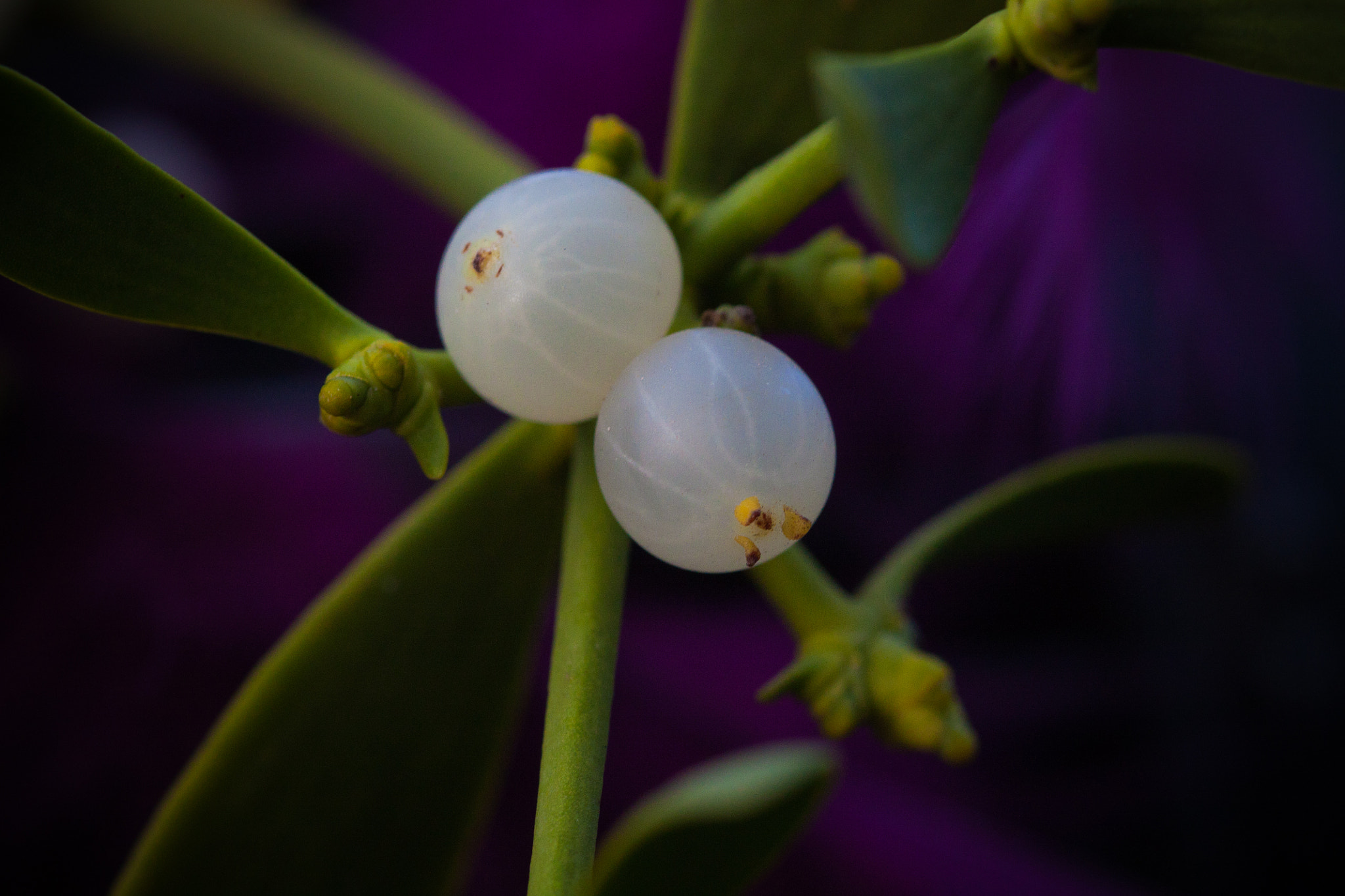 Photograph Mistletoe by Verónica Abad Yubero on 500px