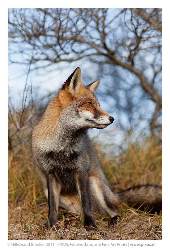 Photograph Vos, Vulpes vulpes, fox, red fox by Hillebrand Breuker on 500px