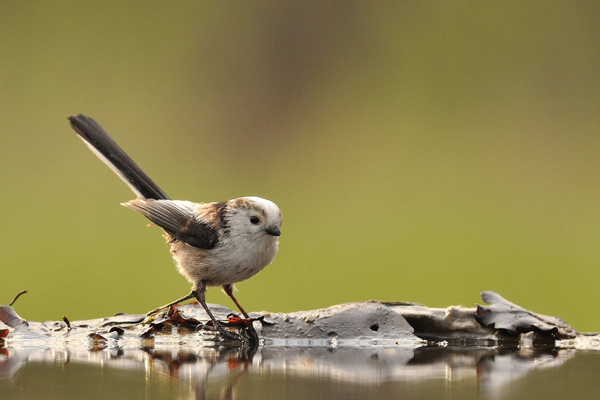 Photograph Long Tailed Tit by Csilla Zelko on 500px