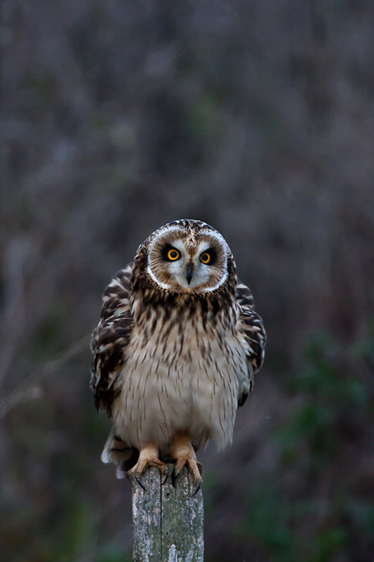 Photograph short eared owl  by dave blackwell on 500px