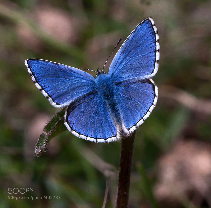 Photograph adonis blue butterfly by dave blackwell on 500px