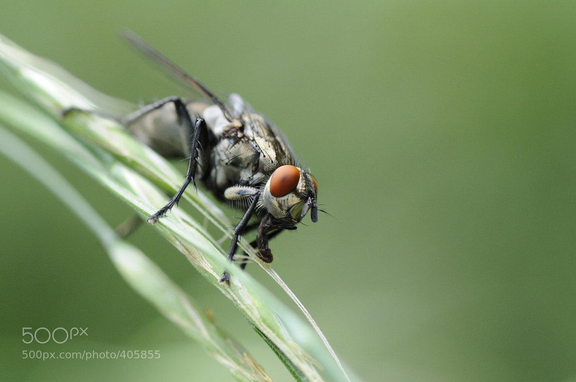 Photograph Sarcophagidae by Thorsten Rüger on 500px