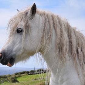 horse on dingle peninsula i ireland